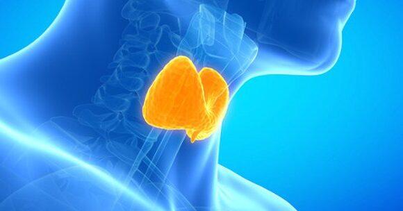 Що таке щитоподібна залоза? Яка її роль?
